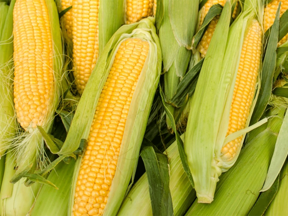 About 81% of intended US corn acreage planted, above market estimates: sources